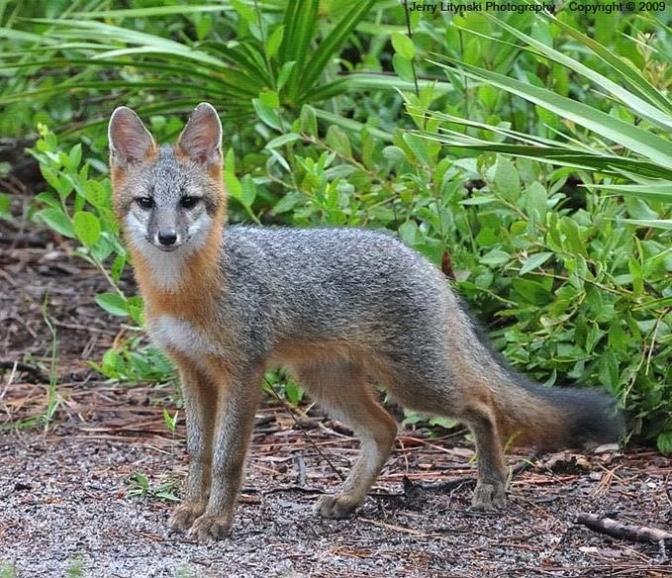 Gray-Fox.jpeg